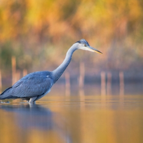 Autumn heron II