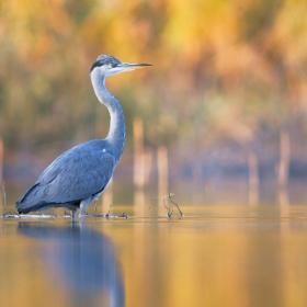 Autumn heron I