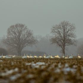 Field of swans