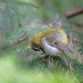 Sleeping firecrest