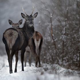 Deer's gaze