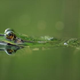 The Edible Frog