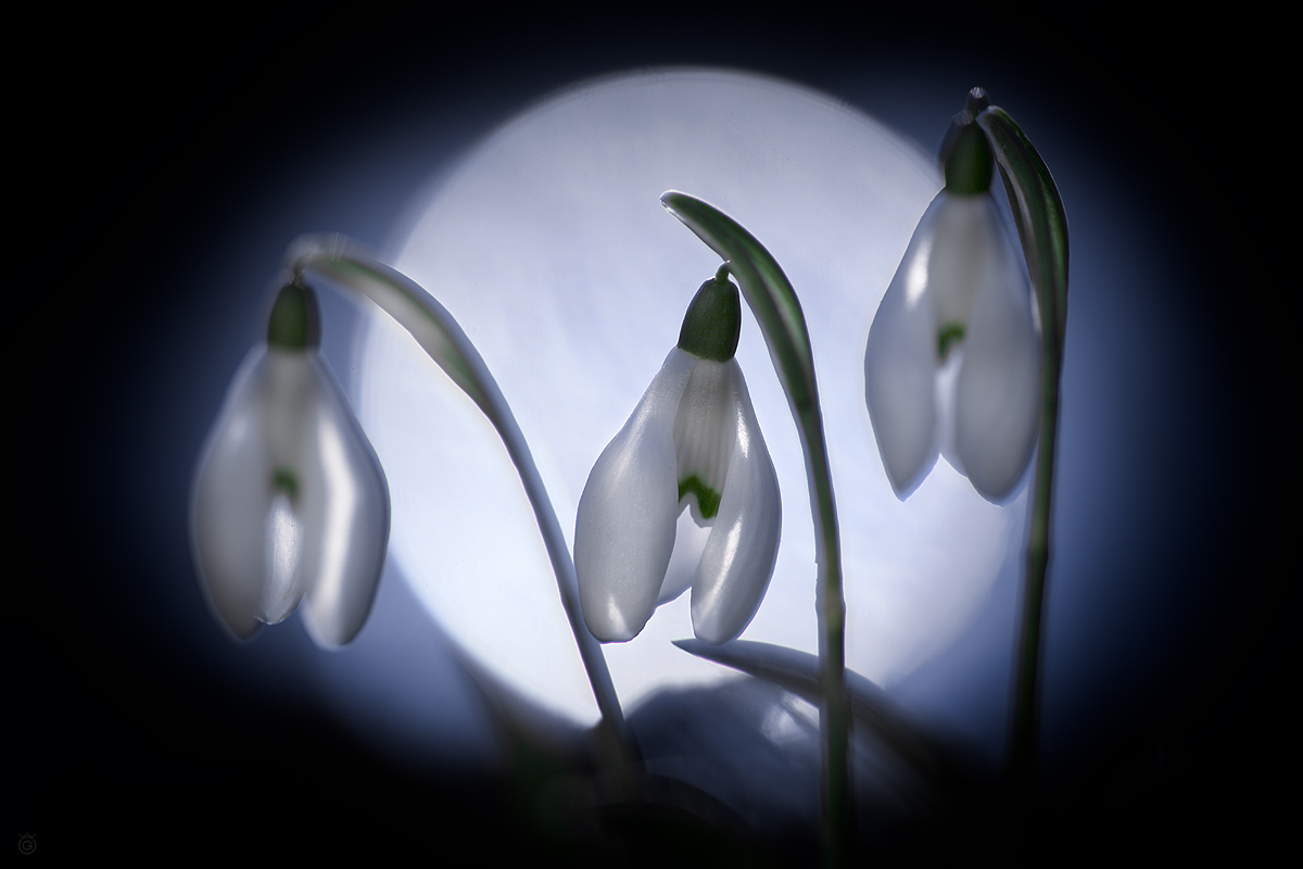 Snowdrops in the moonlight