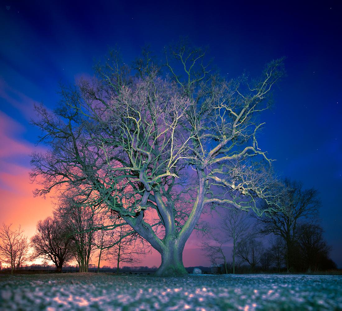 Slav oak