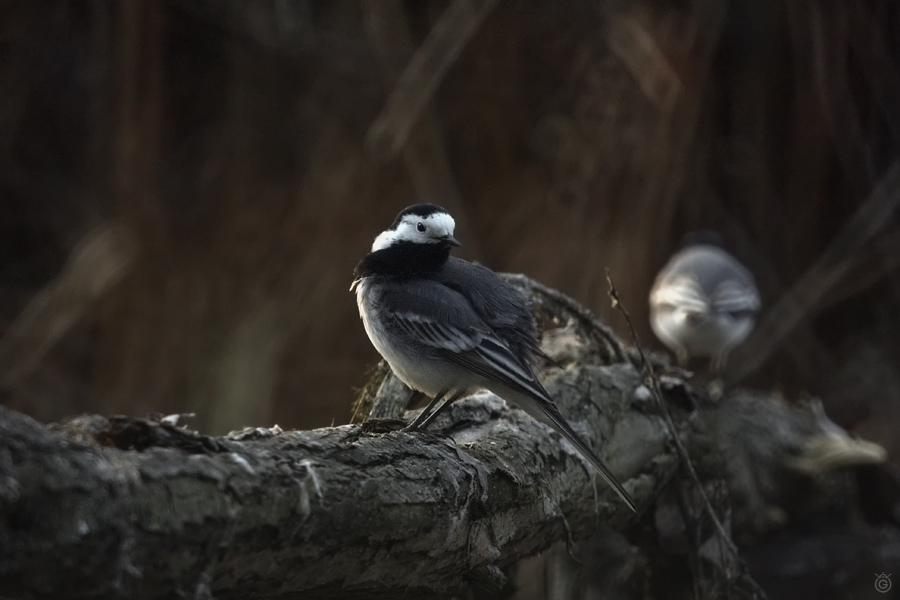Pliszki - samica