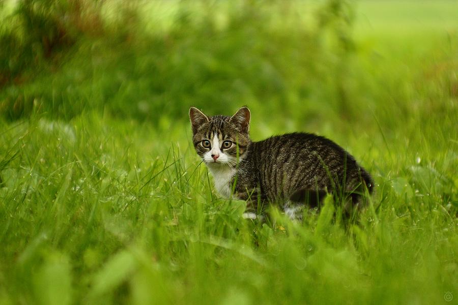 Koteczek w trawie