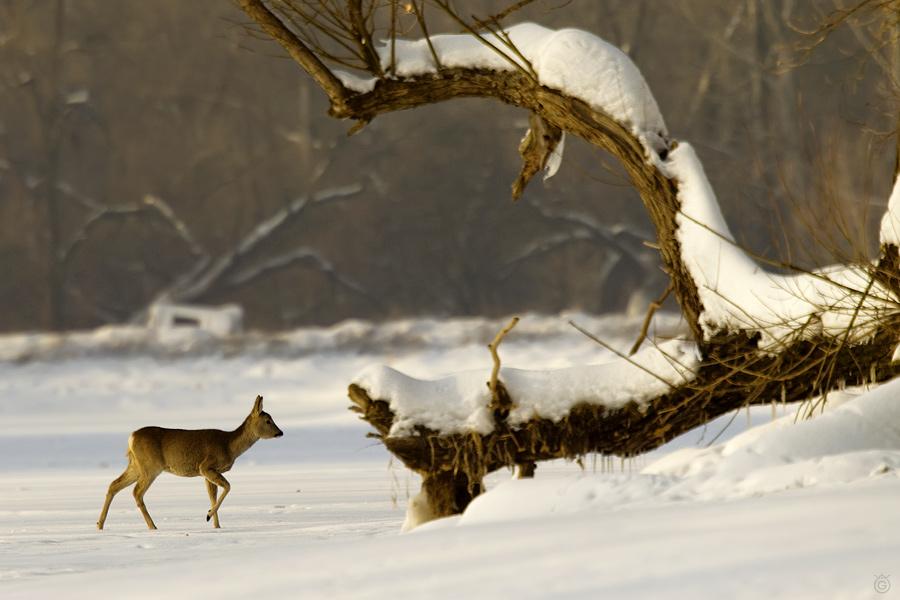Sarna na lodzie