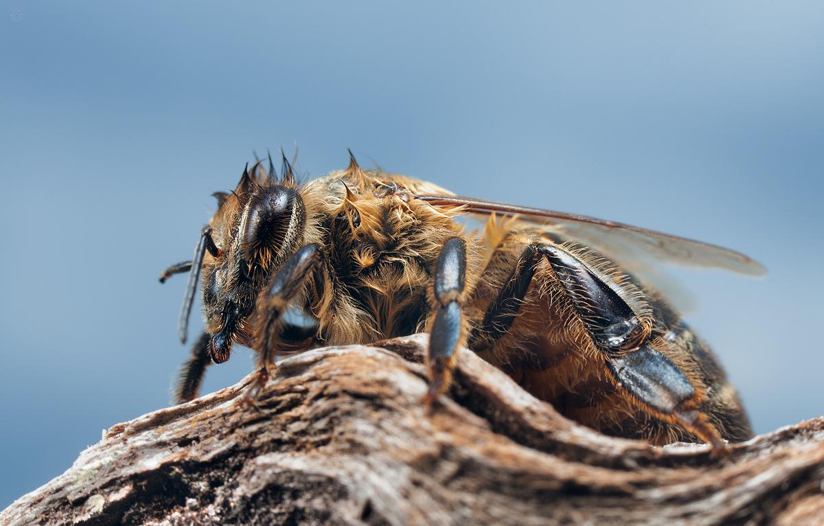 Przemoknięta pszczoła by Wojciech Grzanka