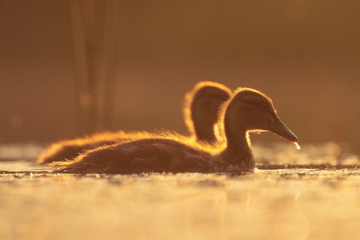 Polowanie na złote kaczki by Wojciech Grzanka