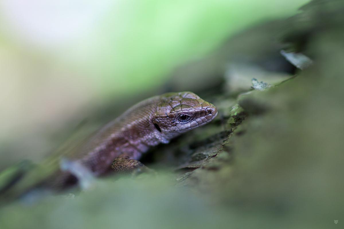 Jaszczurka żyworodna by Wojciech Grzanka