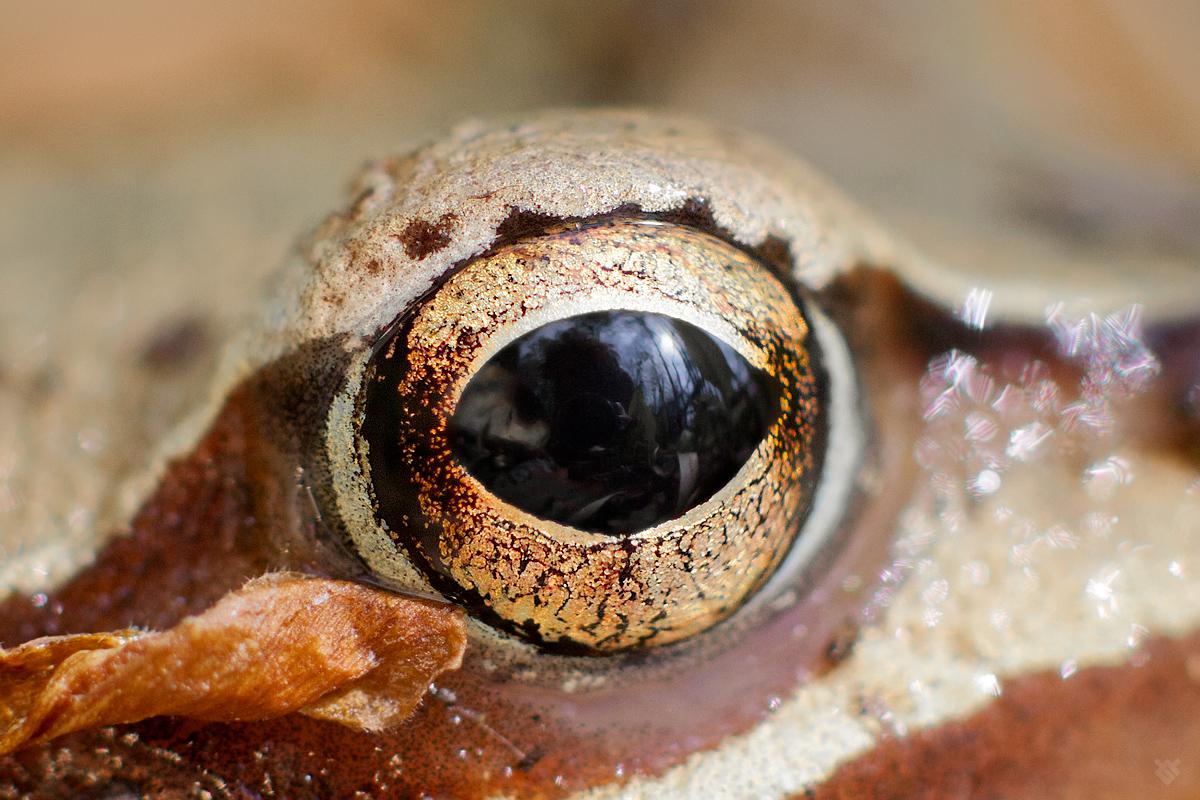 Oko żaby trawnej by Wojciech Grzanka