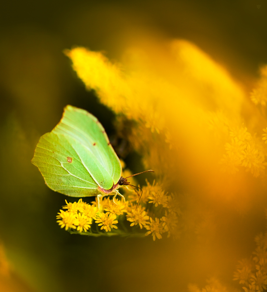 Listkowieccytrynek (gonepteryx rhamni)