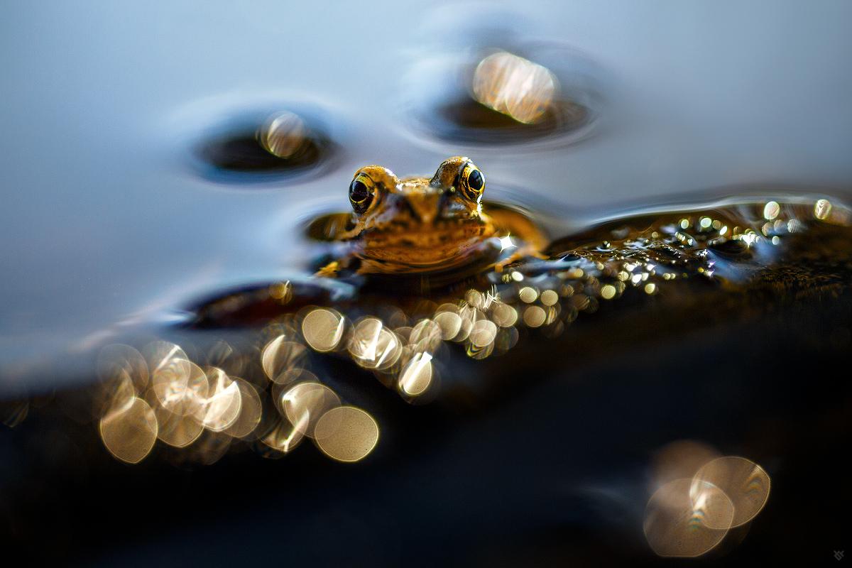 Złota żabka by Wojciech Grzanka