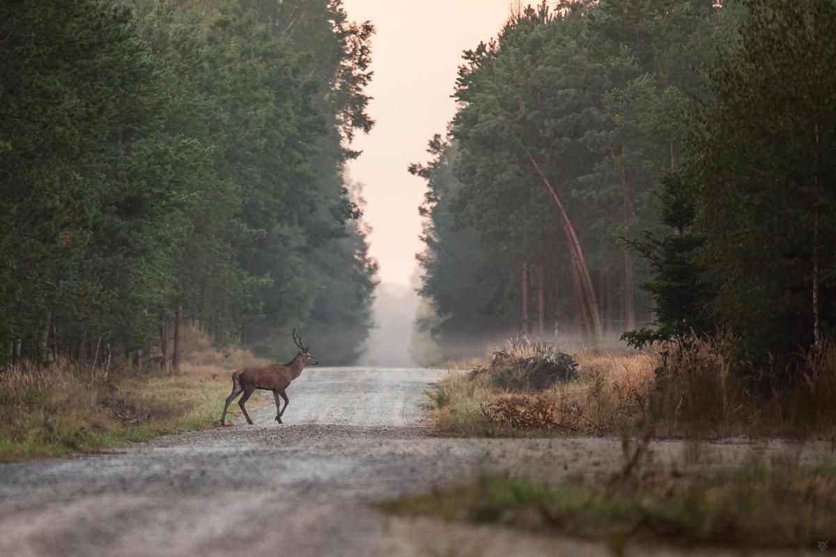 Droga na rykowisko by Wojciech Grzanka