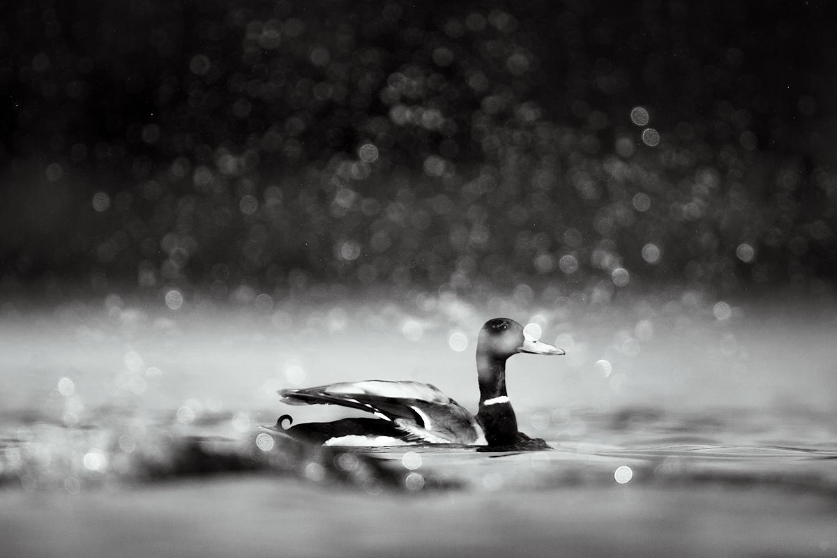 Monochromatyczny kaczor by Wojciech Grzanka