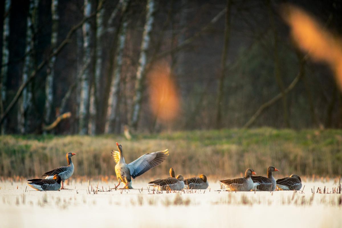 Gęgawy na lodzie by Wojciech Grzanka