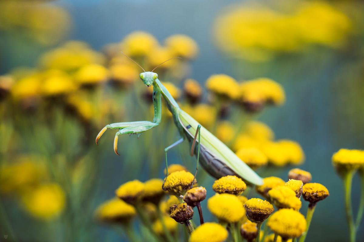 Modliszka zwyczajna - Mantis religiosa - by Wojciech Grzanka